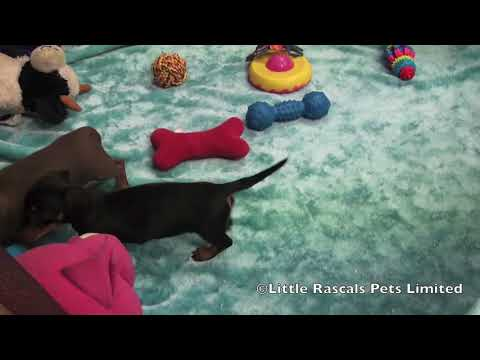 Little Rascals Dachshund Puppies for sale