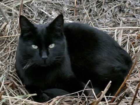 Stanislaus, the Black Alley Cat