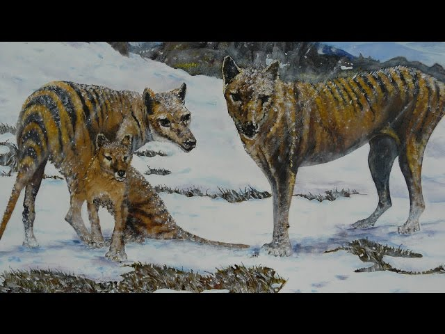 Living Thylacines, an 0il on Canvas Painting of a family of Tasmanian Tigers.