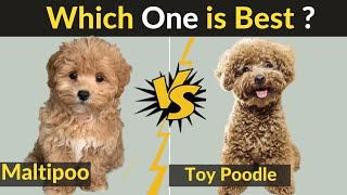 Maltipoo vs Toy Poodle  Comparison Between Two Dog Breeds