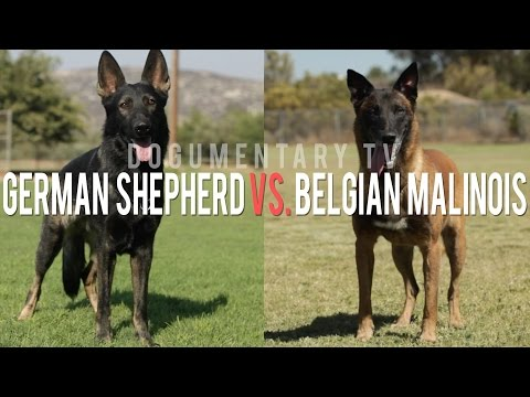 THE BELGIAN MALINOIS VS. THE GERMAN SHEPHERD ELITE WORKING DOGS
