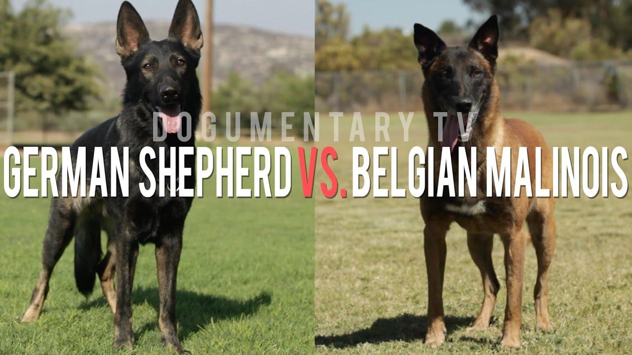 THE BELGIAN MALINOIS VS. THE GERMAN SHEPHERD ELITE WORKING
