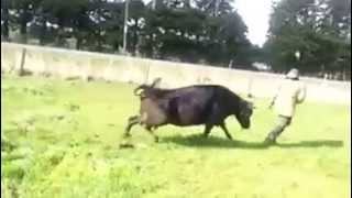 COW ATTACKS DAIRY FARMER FOR TRYING TO STEAL HER FRIEND'S NEWBORN (HD)