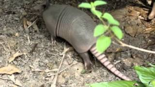 How To Catch An Armadillo