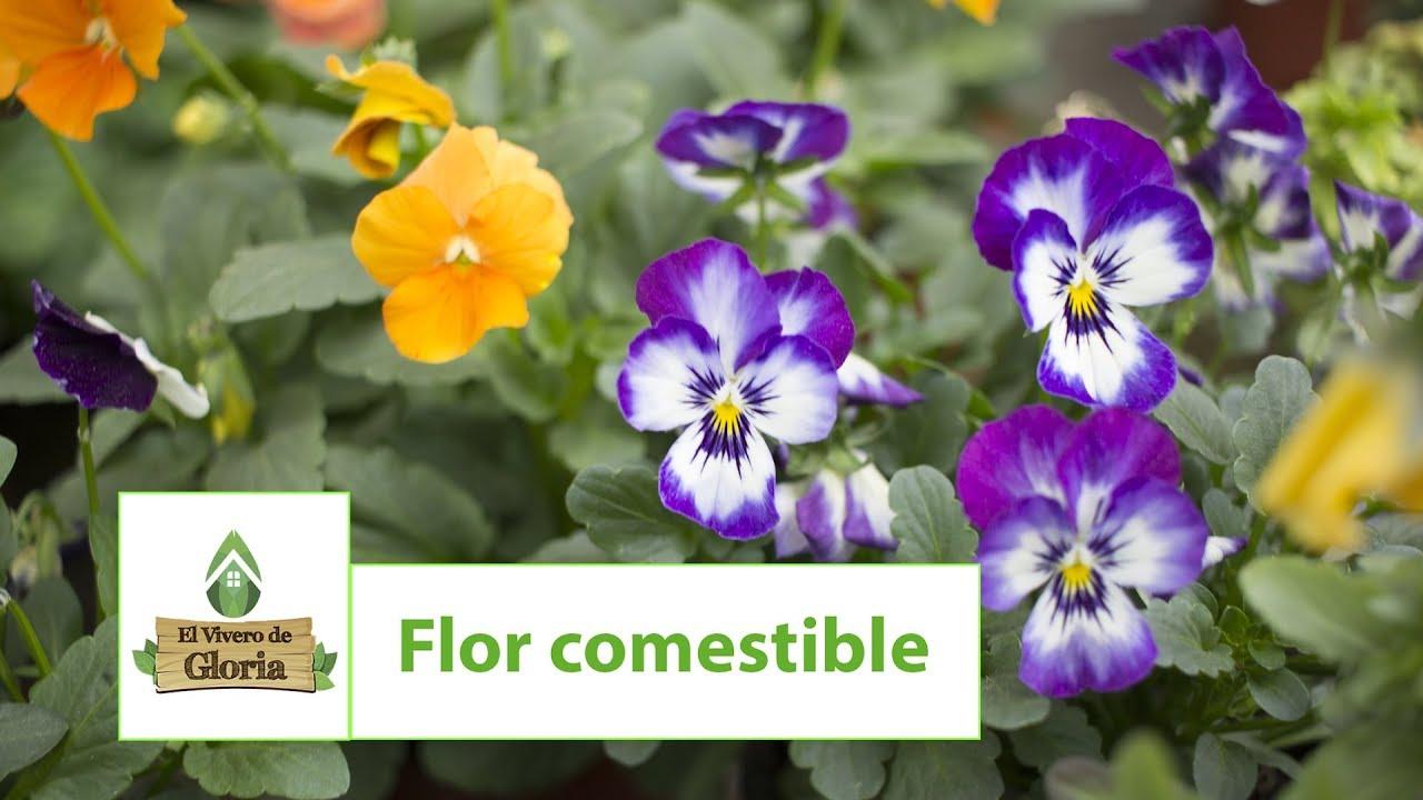 Flor Comestible Trasplante Viola Cornuta Pensamientos Miniatura