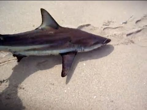 Surf fishing for sharks in florida youtube for Surf fishing for sharks
