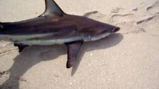 Surf Fishing for Sharks in Florida