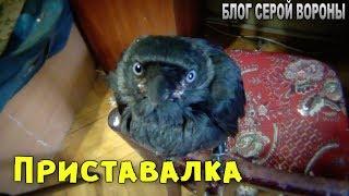 Галка -  галка, приставала  Прилипала птица Гала