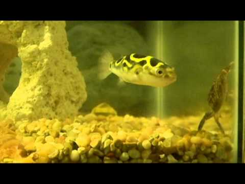Puffer Fish Vs Crab