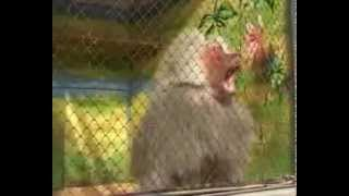 Бабуин танцует!Уссаться!