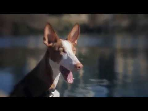 IBIZAN HOUND - appearance, body, playing, barking