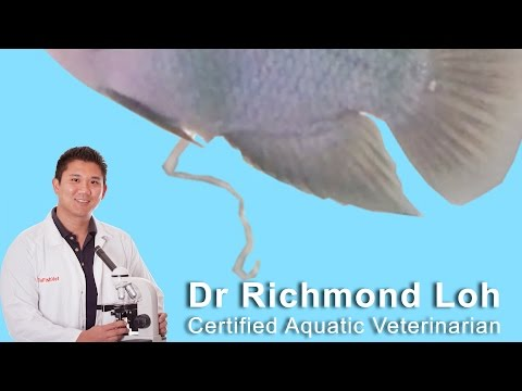 Treating fish with parasitic worms, fish stopped eating and has stringy white pooh.