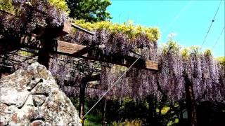 ☆藤の花・岩国市吉香公園~♪水前寺清子の歌を聴きながら!