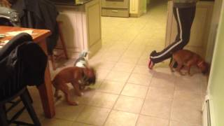 2013-11-10_rocky (shihtzu), Junior (boxer), And Demi (boxer) 1