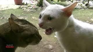 Kucing Lucu Berantem dan Kucing Mengeong anak kucing mengeong.