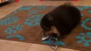 Koda Black And Tan Pomeranian Male - 8 Weeks