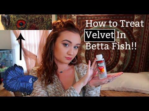 HOW TO TREAT VELVET IN BETTA FISH!!   ItsAnnaLouise
