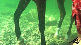 incredible underwater HD of horse swimming