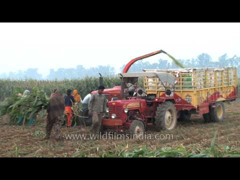 Forage harvester harvesting maize in the fields of Ludhiana