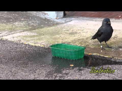 Kikko la Taccola (Corvus monedula) 25 ottobre 2012