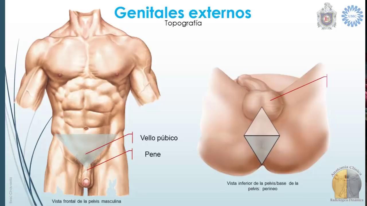 Anatomía del aparato reproductor masculino - YouTube