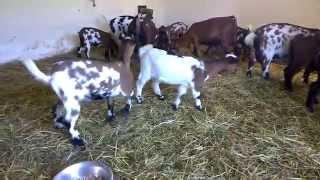Zakrslé kozy