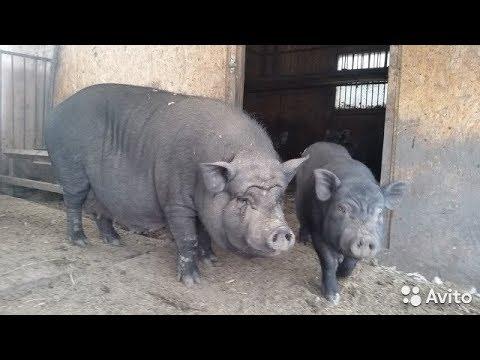 Отчёт за 9 месяцев содержания Вьетнамских свиней