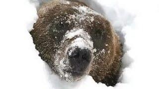 охота на медведя жесть 2016