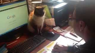Crazy cat fights for computer mouse