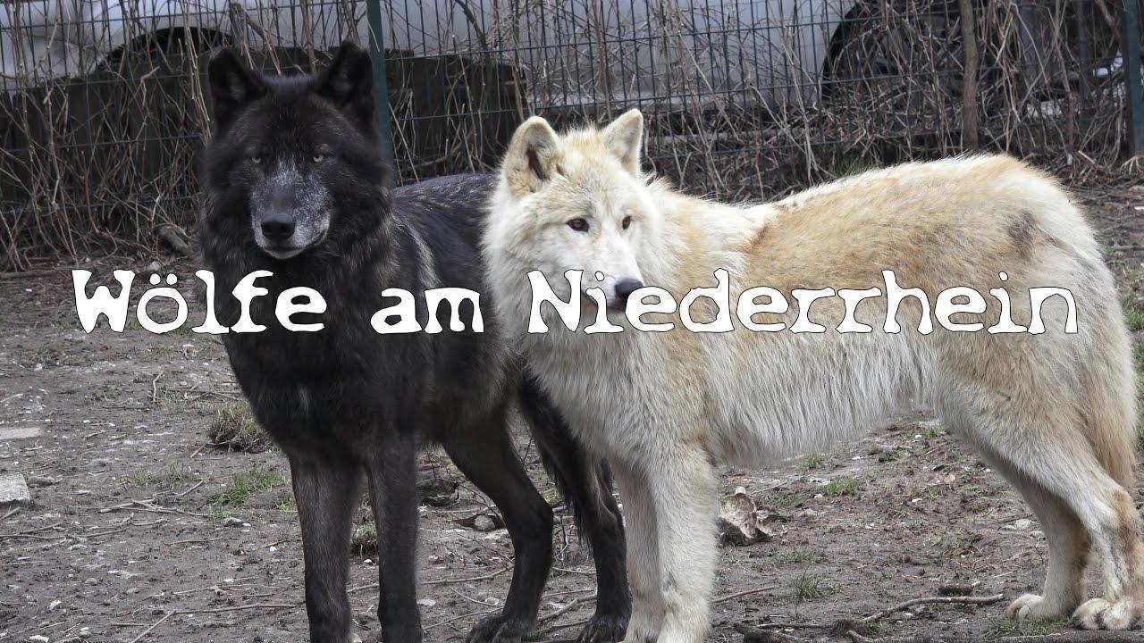 Wolf Niederrhein