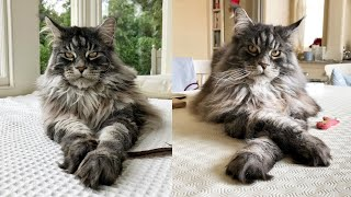 Maine Coon Cat Breed # 1