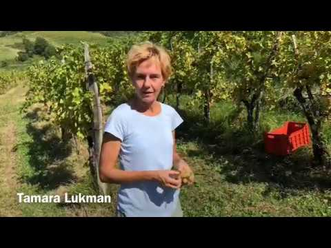 From Grapes to Natural Fermented Slovenian Wines