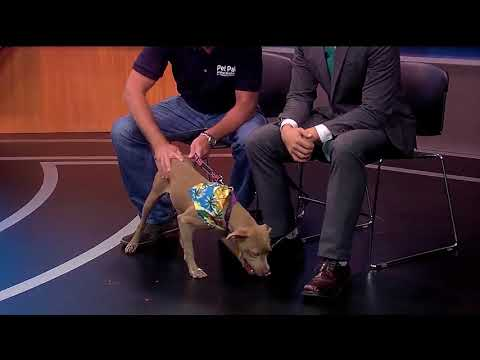 Pet of the week: Echo is an 8-month-old Weimaraner mix that loves kids and walks great on a leash