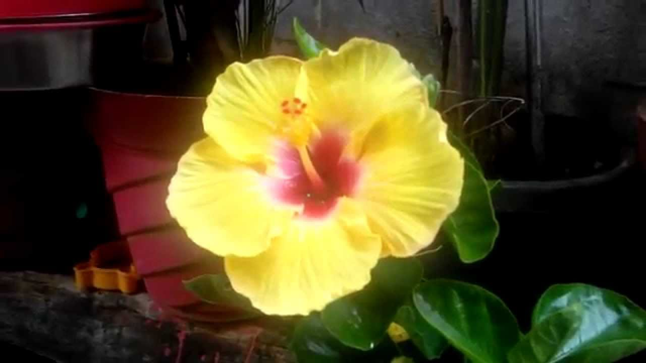 Yellow Color Hibiscus Flower Plant Youtube