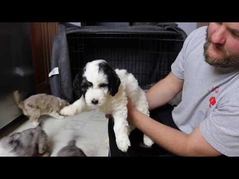 Maggie's small standard Aussie Doodle Puppies at 6 weeks old