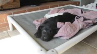 Rescue Pup - 11 Weeks Old, Labby-schnauzer ? Mix - Broken Leg