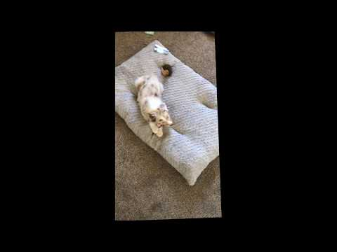 Training my Australian Shepherd Puppy