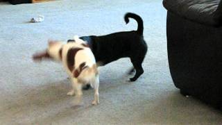 Cavalier King Charles Spaniel Playing With Boston Terrier Mix