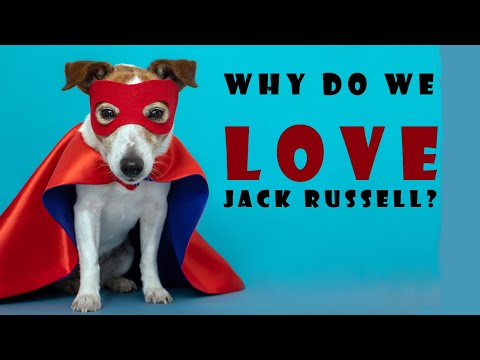 Why do we love Jack Russell? The most viewed sections
