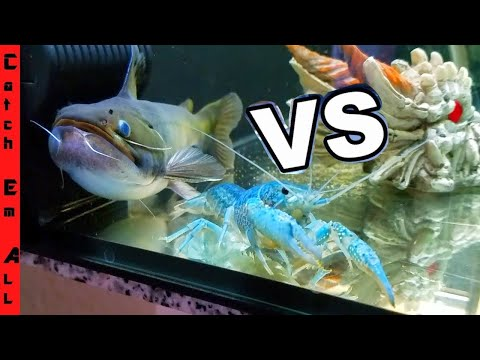 BLOB CATFISH Vs BLUE LOBSTER!