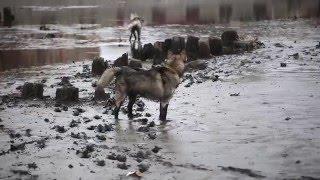 сибирский хаски и аляскинский маламут