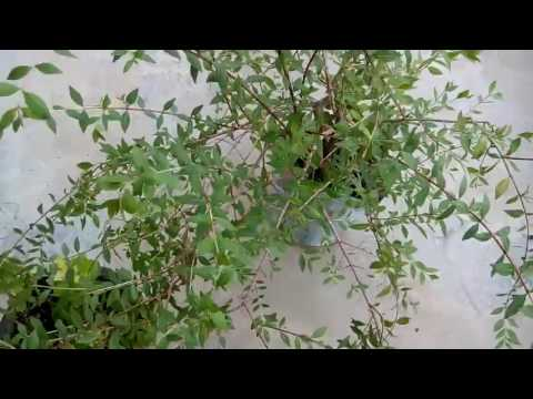 461 How To Grow Henna Mehndi Plant Lawsonia Inermis From Cutting