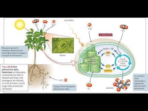 2.La fotosintesi clorofilliana per il Test di Medicina: lezione di approfondimento