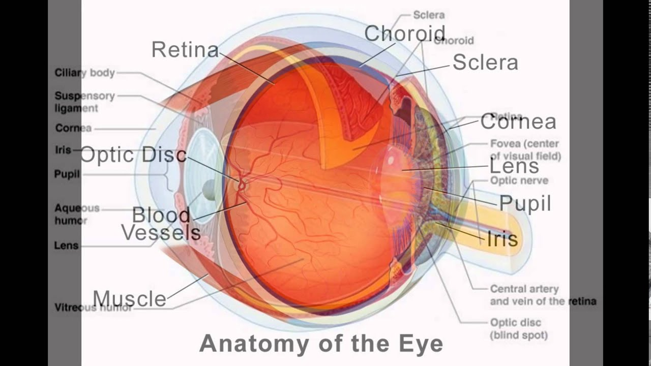 Parts of the human eye and its function youtube parts of the human eye and its function ccuart Choice Image