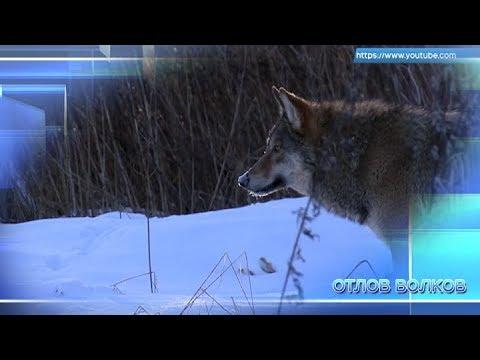 Отлов волков