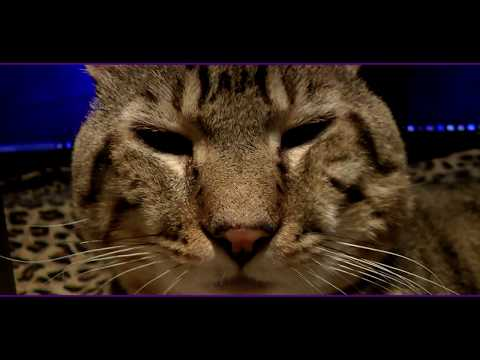 Lynx Hybrid - Goliath The Big CAT - shows off his NEW Exotic Kittens