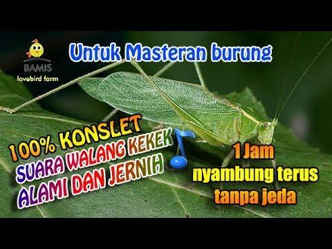 SUARA MASTERAN WALANG KEKEK ASLI TANPA JEDA DAN JERNIH 1 jam || BAMIS LOVEBIRD farm