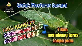 Gambar cover SUARA MASTERAN WALANG KEKEK ASLI TANPA JEDA DAN JERNIH 1 jam    BAMIS LOVEBIRD farm