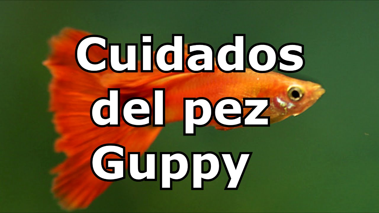 Pez guppy cuidados para aficionados youtube for Cuidado de peces