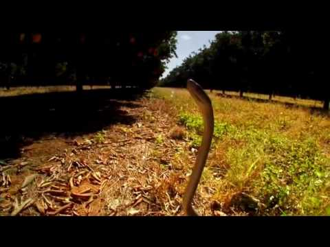 Deadly Black Mamba faster than people can run